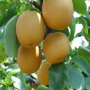 大量批发优质黄金梨 保质保量 价格合理