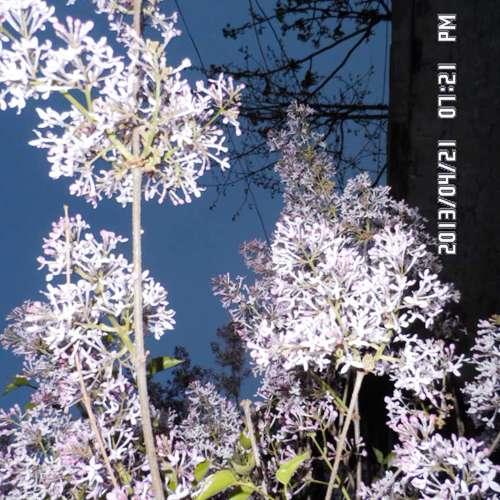 供應內蒙紫花丁香河北丁香價格