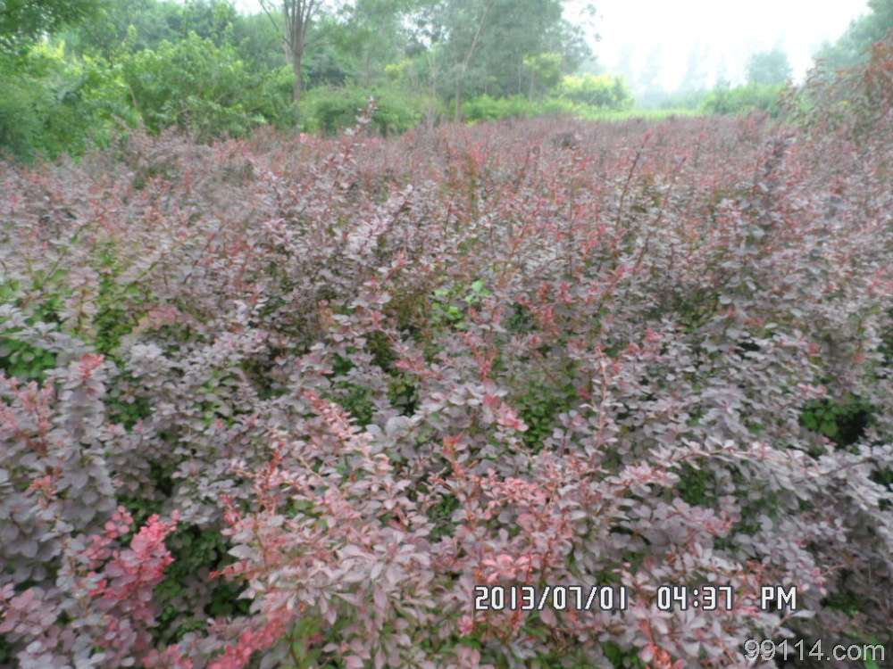 供应内蒙紫叶小檗|河北红叶小檗价格