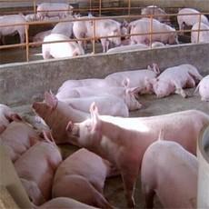 供应 生猪 三元猪 土杂猪 肉猪 量大从优