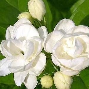 茉莉花盆栽双瓣重瓣茉莉花苗