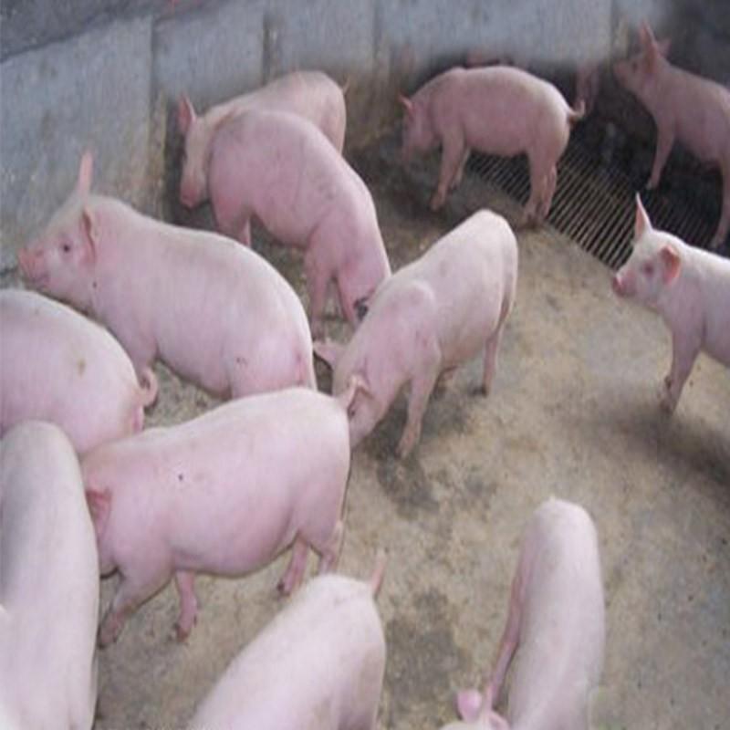 延安农家 猪圈养殖 小白猪 卖小猪崽 正宗的农村猪 价格优惠!