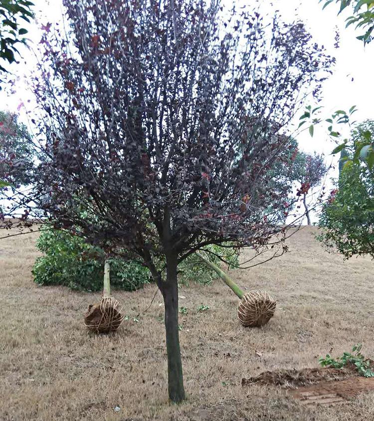三木园林基地大量批发3-18公分一级精品 红叶李紫叶李 规格齐全 品质图片