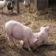 常年养殖、购买、销售生态生猪、仔猪、种猪,百分百生态绿色,健康养殖