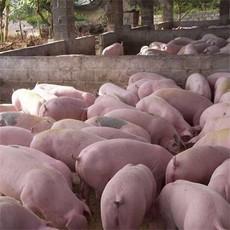 供应 三元猪 土杂猪 生猪 生态肉猪