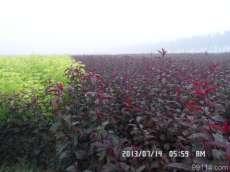 大棵叢生紫葉矮櫻|叢生紫葉矮櫻價格