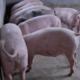 猪 良种猪 农村养殖优质种