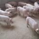 生态土猪 无激素纯绿色健康猪肉 冷藏新鲜生猪猪肉
