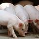 供应 散养天然仔猪  生猪无公害生态猪