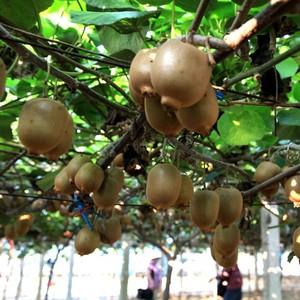 健康果业徐香绿心猕猴桃奇异果32颗【礼盒装】新鲜猕猴桃