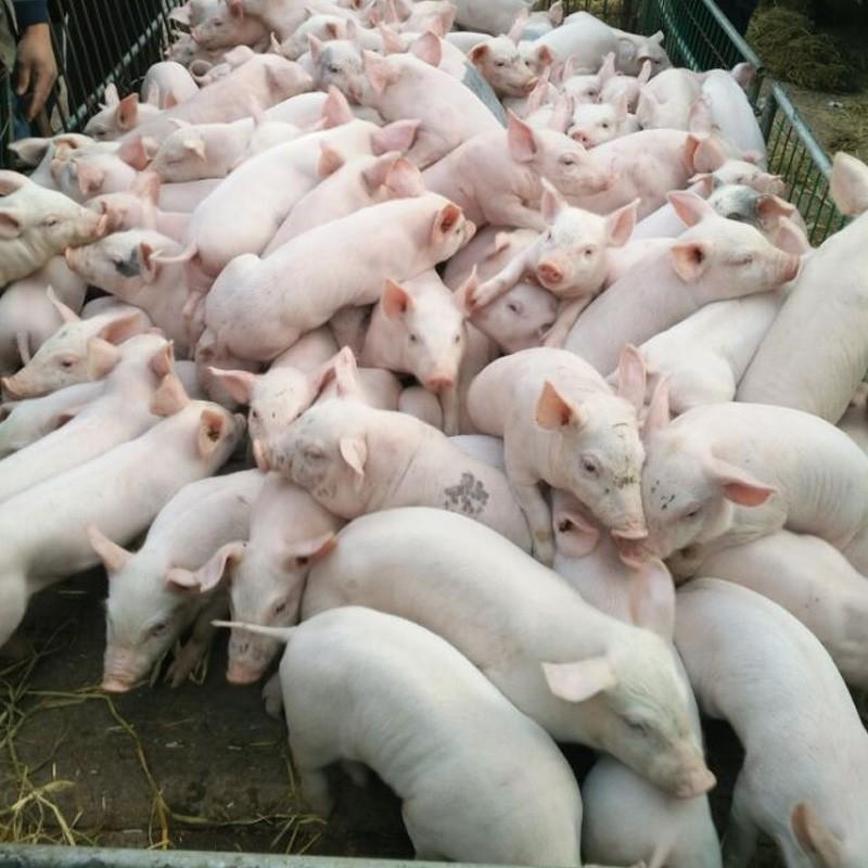 厂家直供优质三元猪仔猪