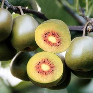 三兴绿色果业批发红阳猕猴桃原产地直销