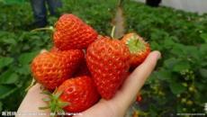 供应新鲜草莓 甜宝草莓