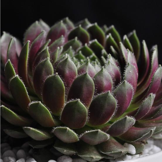 多肉植物批特价紫牡丹多肉肉植物批发花卉绿植迷你盆栽批发包邮