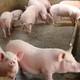 生态养殖生猪 优质生猪绿色生态专业养殖