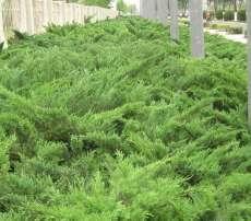 沙地柏 沙地柏价格 侧柏 侧柏价格 园艺苗木定州中华园林