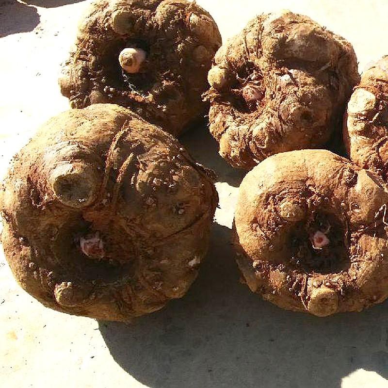 魔芋种子 魔芋种植基地直销 魔芋种子厂家批发 花魔芋