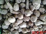 云南花魔芋种子50公斤包邮