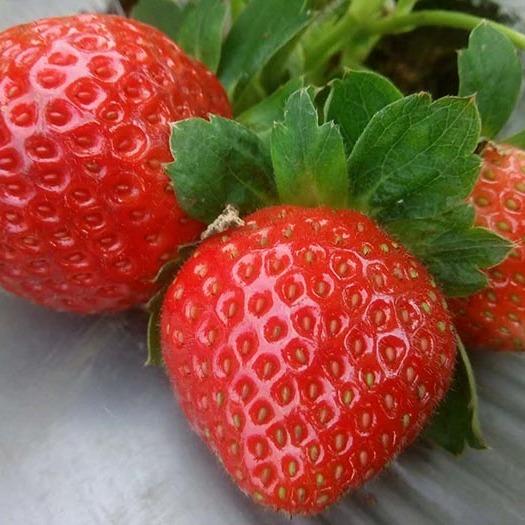 鑫泰园农业 国产草莓 新鲜草莓 法兰地草莓 味美多汁 草莓批发 现货