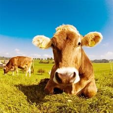 杂交牛 肉牛 生态喂养