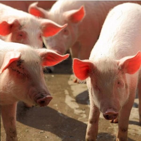 供应无公害农家土猪