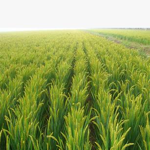 供应水稻种