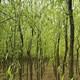 垂柳    大量供应优质青皮垂柳 移植苗