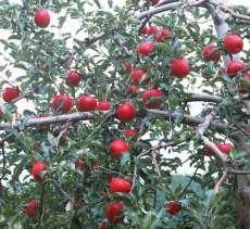柿子树、核桃、、山楂、苹果、枣树.桃树、杏树、梨树、花椒、果石榴园艺苗木果树