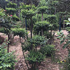 造型树 造型多异 基地供应 易成活