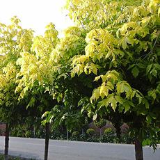 金叶复叶槭 鄢陵金叶复叶槭基地直销