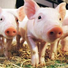 生猪家猪养殖批发 天然养殖