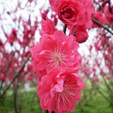 红梅  花卉绿植  基地直销 规格全 易成活
