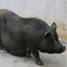 供应藏香黑猪肉 纯天然绿色猪肉 生猪肉