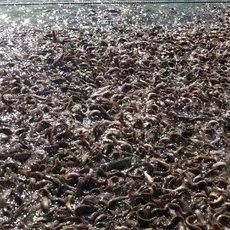 东北吉林泥鳅鱼苗批发