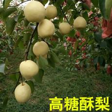 陕西特产蒲城酥梨自有基地种植好吃甜多汁有机新鲜水果高糖酥梨10斤装包邮