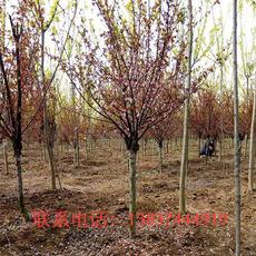 鄢陵绿之洲园林供应美人梅5一12公分   60一500元  树形好  品质优
