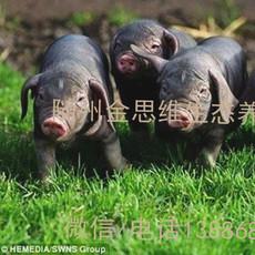 随州金思维太湖黑母猪产子率高搞病能力强适合散养生态养殖厂家直销黑母猪