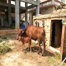 农家养殖优质黄牛正宗黄牛肉质鲜嫩