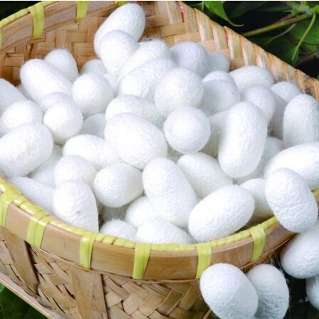 组织采购种植 100%纯天然桑蚕去蚕蛹精干茧批发