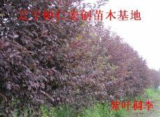 紫叶稠李苗、紫叶稠李基地、紫叶稠李种子、辽宁紫叶稠李