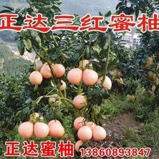 湖南三红蜜柚苗批发价格,湖南三红柚子苗|红心柚子果苗|蜜柚树苗低价批发