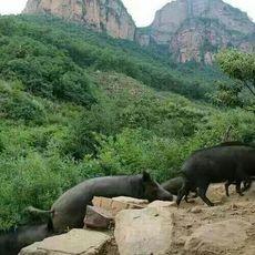 北京散养野猪,正宗天然野猪,预购从速