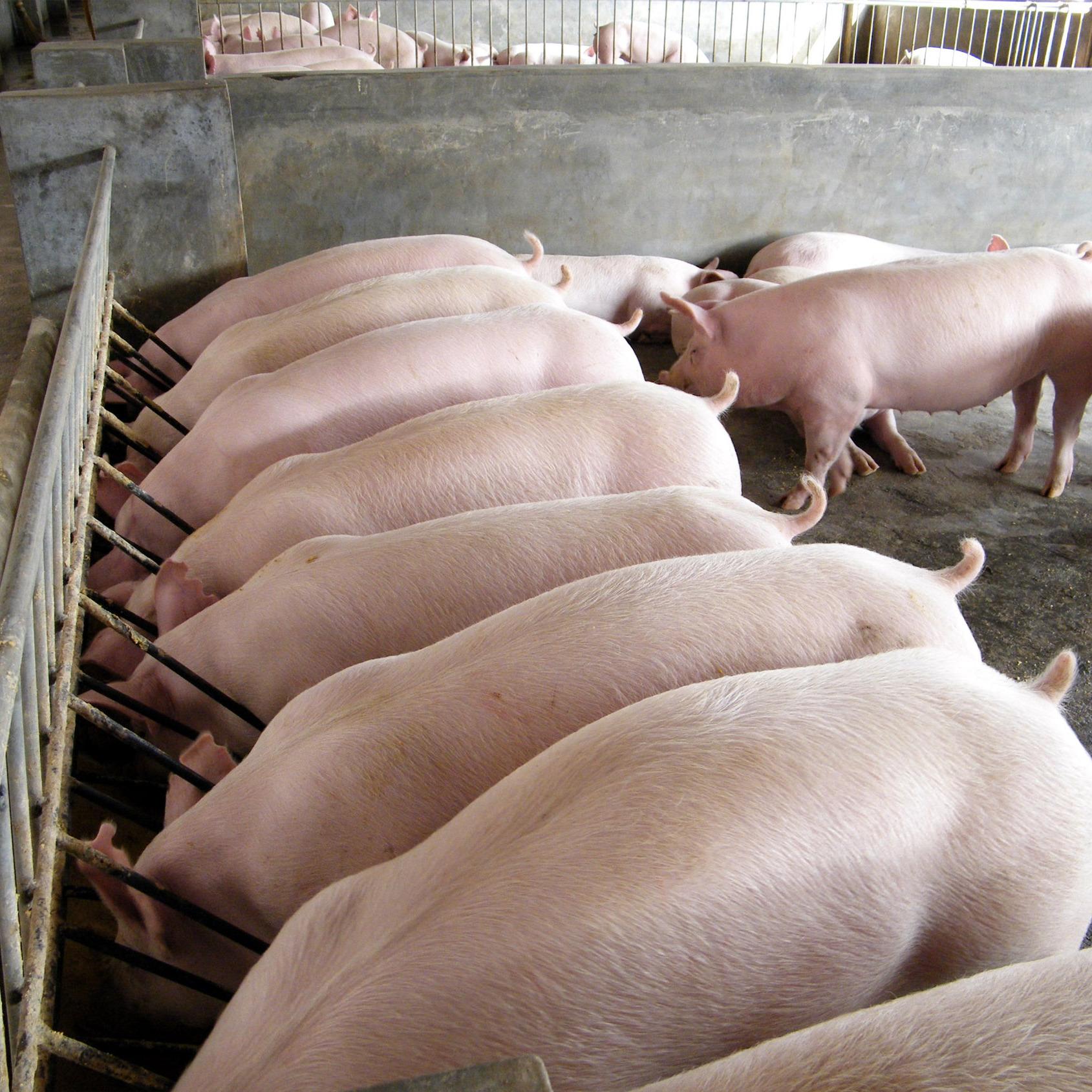 广安岳池农家养殖土猪  天然养殖   绿色生态