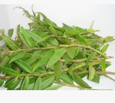 顶级铁皮石斛苗鲜条 药性最高 三年 最胶厚多糖 现拍现摘