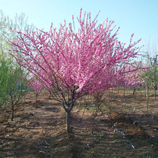 大量批发3-8公分榆叶梅 当年开花 鄢陵永博花卉苗圃供应各种绿化树 风景树 量大从优
