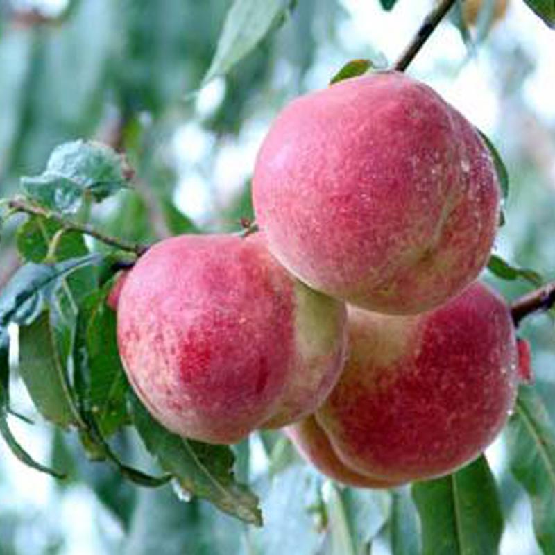 桃树苗新品种特征特性