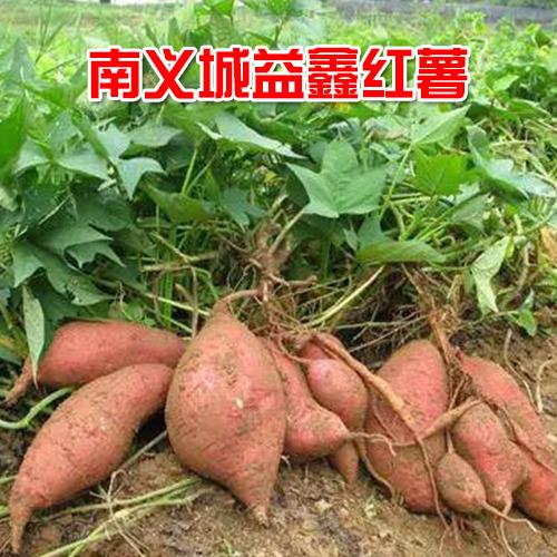 供应本地红薯5公斤装 欢迎选购