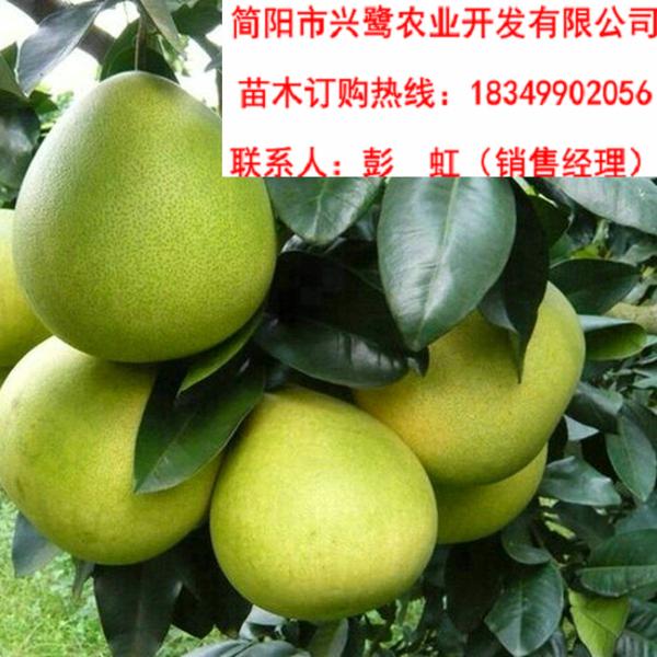 四川官溪柚子苗基地,柚子苗价格,柚子苗批发