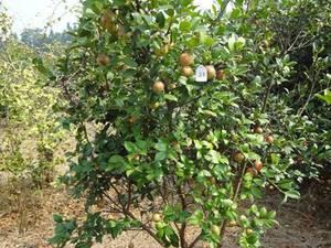 长林21#  基地优质选种培育油茶树苗  出仁率高
