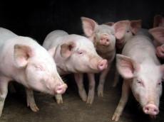 新美系猪,大白猪,优质生猪养殖供应